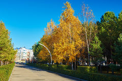 The golden silver birch leaves Royalty Free Stock Images
