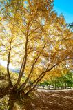 The golden silver birch scenic Royalty Free Stock Images