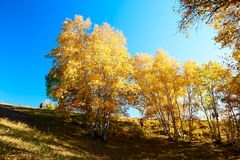 The golden silver birch of Toad dam Royalty Free Stock Images