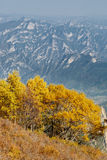 Golden silver birches on Baihua Mountain and distant cyan mountains Royalty Free Stock Photography