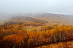 The golden silver birches in rain Royalty Free Stock Image