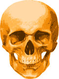 A golden skull of a man Stock Image