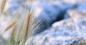 Golden small plant blown by the wind stock video footage
