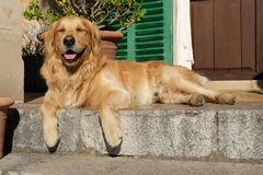 Golden smiling. Resting at the top of the staris, my dog smiles me Stock Photography