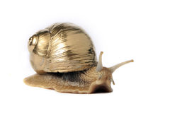 Golden Snail Stock Image
