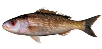 Free Golden Snapper Royalty Free Stock Image - 113336186