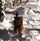 Golden in the Snow. Senior retriever run royalty free stock images