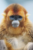 The Golden Snub Monkey 2016. Ocean Park announced the loss of a Golden Snub nosed Monkey Royalty Free Stock Photo