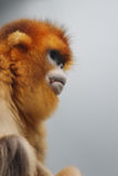 The Golden Snub Monkey 2016. Ocean Park announced the loss of a Golden Snub nosed Monkey Royalty Free Stock Image