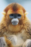 The Golden Snub Monkey 2016. Ocean Park announced the loss of a Golden Snub nosed Monkey Royalty Free Stock Photos