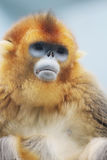 The Golden Snub Monkey 2016. Ocean Park announced the loss of a Golden Snub nosed Monkey Royalty Free Stock Images