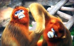 Golden Snub-nosed Monkey. China`s unique precious animals, Golden Snub-nosed Monkey Royalty Free Stock Images