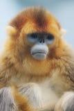 Golden Snub nosed Monkey at 2016. Ocean Park announced the loss of a Golden Snub nosed Monkey Stock Photography