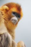 Golden Snub nosed Monkey at 2016. Ocean Park announced the loss of a Golden Snub nosed Monkey Royalty Free Stock Photography