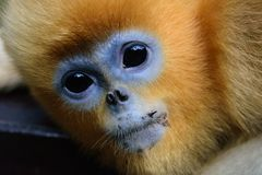A Golden Snub-nosed Monkey on a Tree royalty free stock photo
