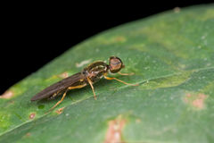 A golden soldier fly Stock Images