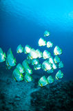 Golden spadefish bunaken sulawesi indonesia platax boersii underwater. Photo Stock Image