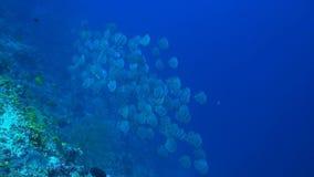 Golden Spadefish stock video
