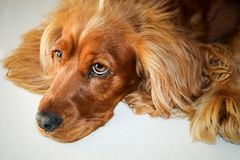 Golden Spaniel stock photography