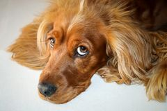 Golden Spaniel. With droopy ears and big eyes Royalty Free Stock Photography