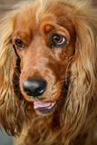Golden Spaniel. With droopy ears and big eyes Stock Photography