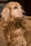 Golden spaniel portrait Royalty Free Stock Photo