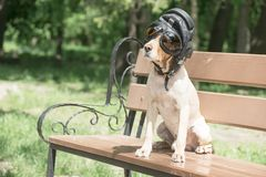 A golden spaniel sits on a bench in an airplane helmet stock image