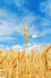Golden spica on field under blue sky Stock Photography