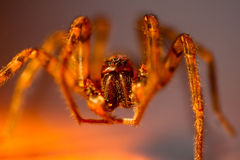 Golden spider. With fangs and legs with stripes royalty free stock image