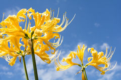 Golden spider lily Stock Images