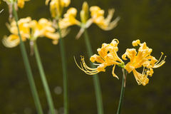 Golden spider lily Royalty Free Stock Images