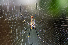 Golden Spider on it web in the wild Stock Image
