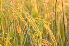 Golden spike rice Royalty Free Stock Photos