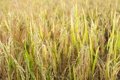 Golden spike rice in field. Harvesting season stock photos