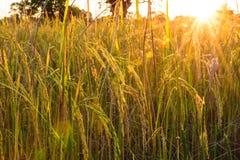 Golden spike rice Stock Photos