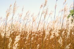 Golden spikelets of bulrush backgrond near the lake Royalty Free Stock Images