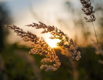 Golden spikelets in the field during sunset. stock images
