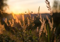 Golden spikelets in the field during sunset. stock photography
