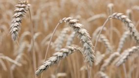 Golden spikelets of wheat field stock footage