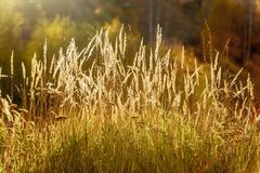 Golden spikes on the field, sunset light. Late summer or early autumn stock photo
