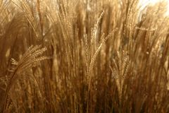 Golden spikes grass crop background  pattern. Texture Stock Images