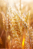 Golden Spikes of Wheat Stock Photography