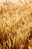 Golden Spikes of Wheat Royalty Free Stock Photography