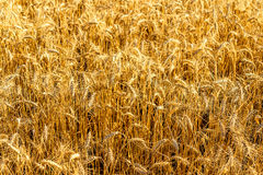 Golden spikes of wheat on sunny day Stock Photos