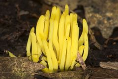 Golden spindles of a coral fungus in Sunapee, New Hampshire. Stock Photography