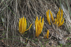 Golden spindles mushroom Royalty Free Stock Images