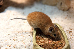Golden spiny mouse Stock Photography