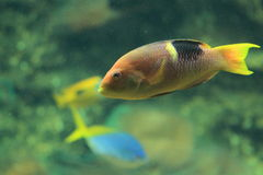 Golden-spot hogfish Royalty Free Stock Photography