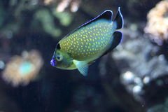 Golden spotted angelfish Royalty Free Stock Photography