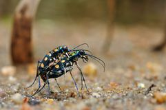 Golden-spotted tiger beetle. From Thialand Royalty Free Stock Photo